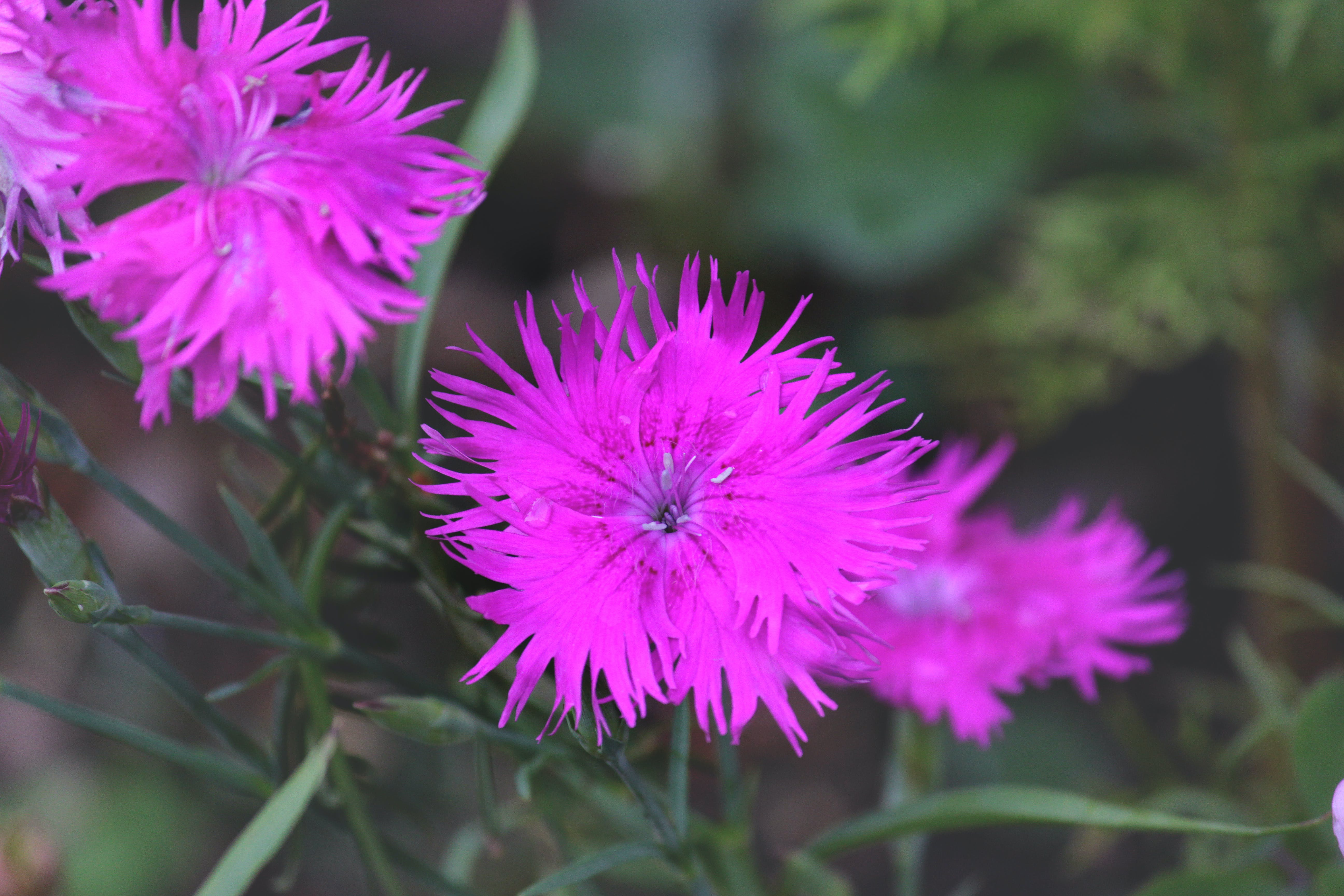 Free stock photo of beautiful flowers, Chinese flower, dianthus, dianthus flower