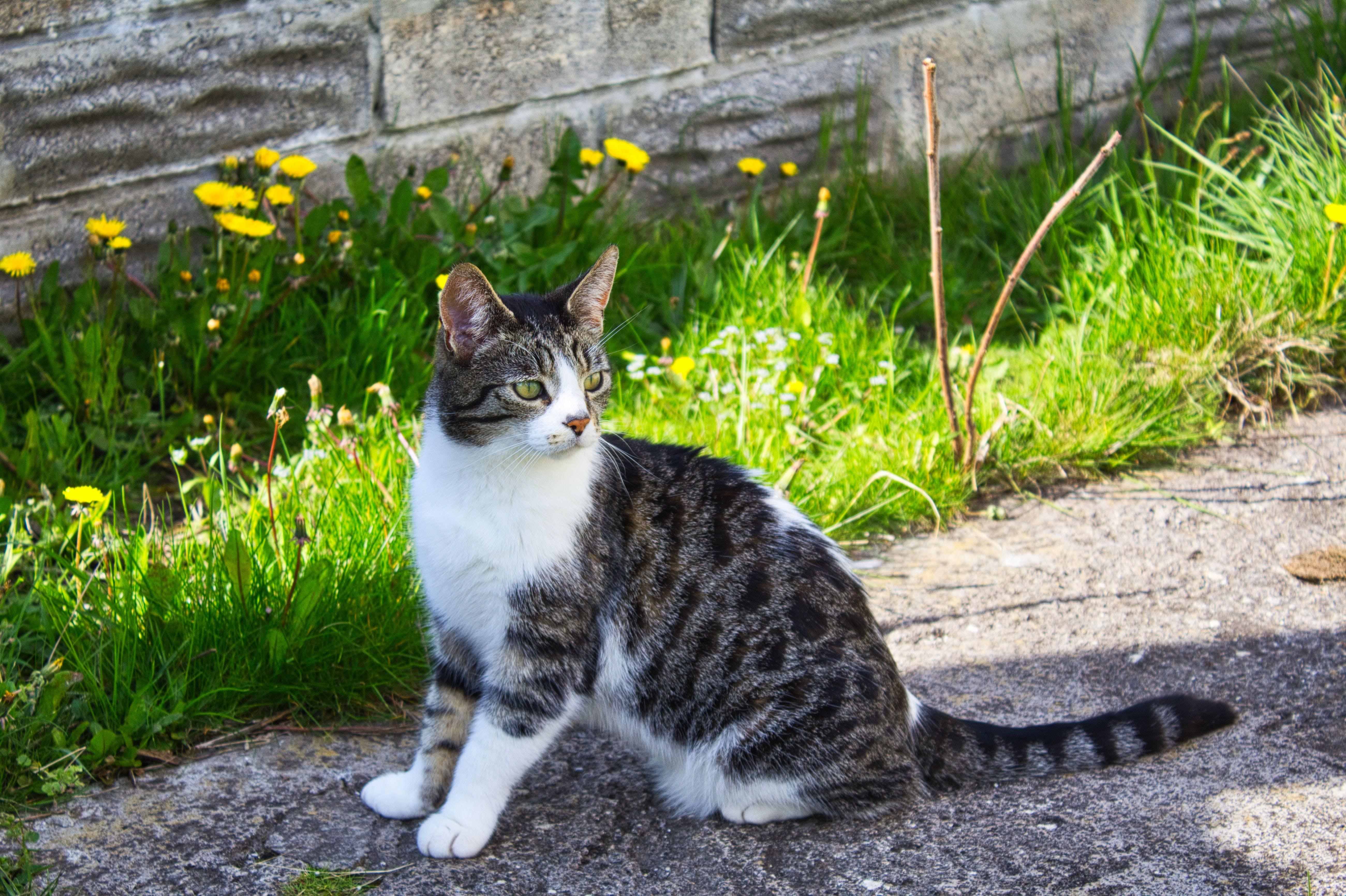 Foto d'estoc gratuïta de gat, gat assegut, gat bonic, tabby cat