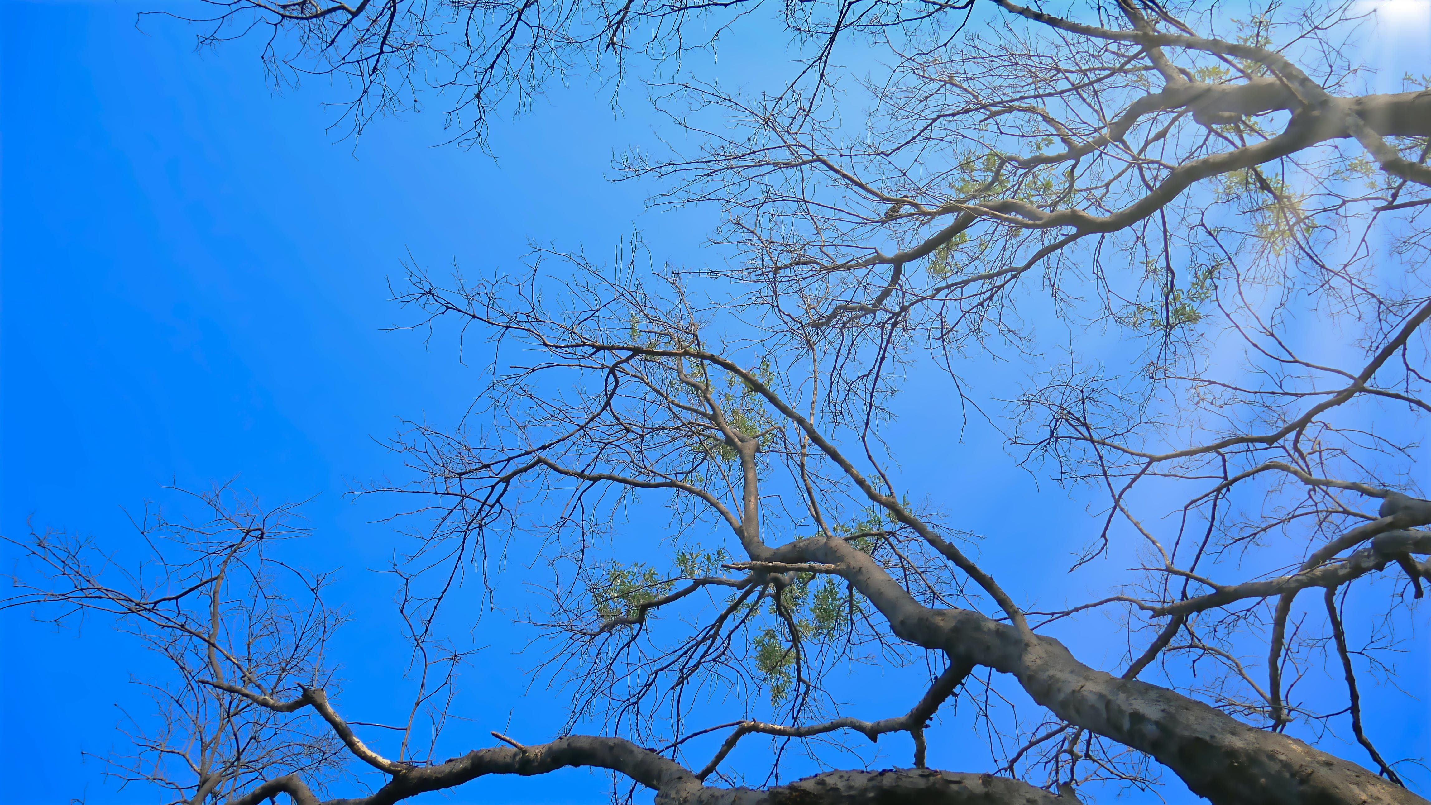 Free stock photo of bare, blue, branches, low angle photography