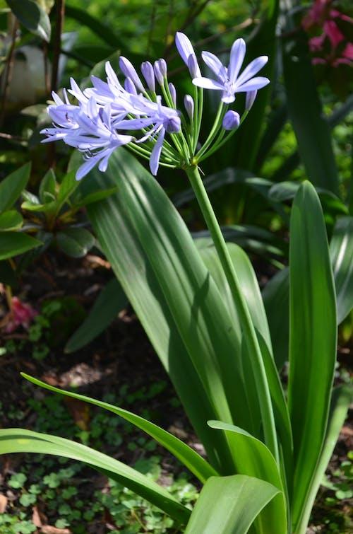 Free stock photo of beautiful flowers, blue flowers, flower garden