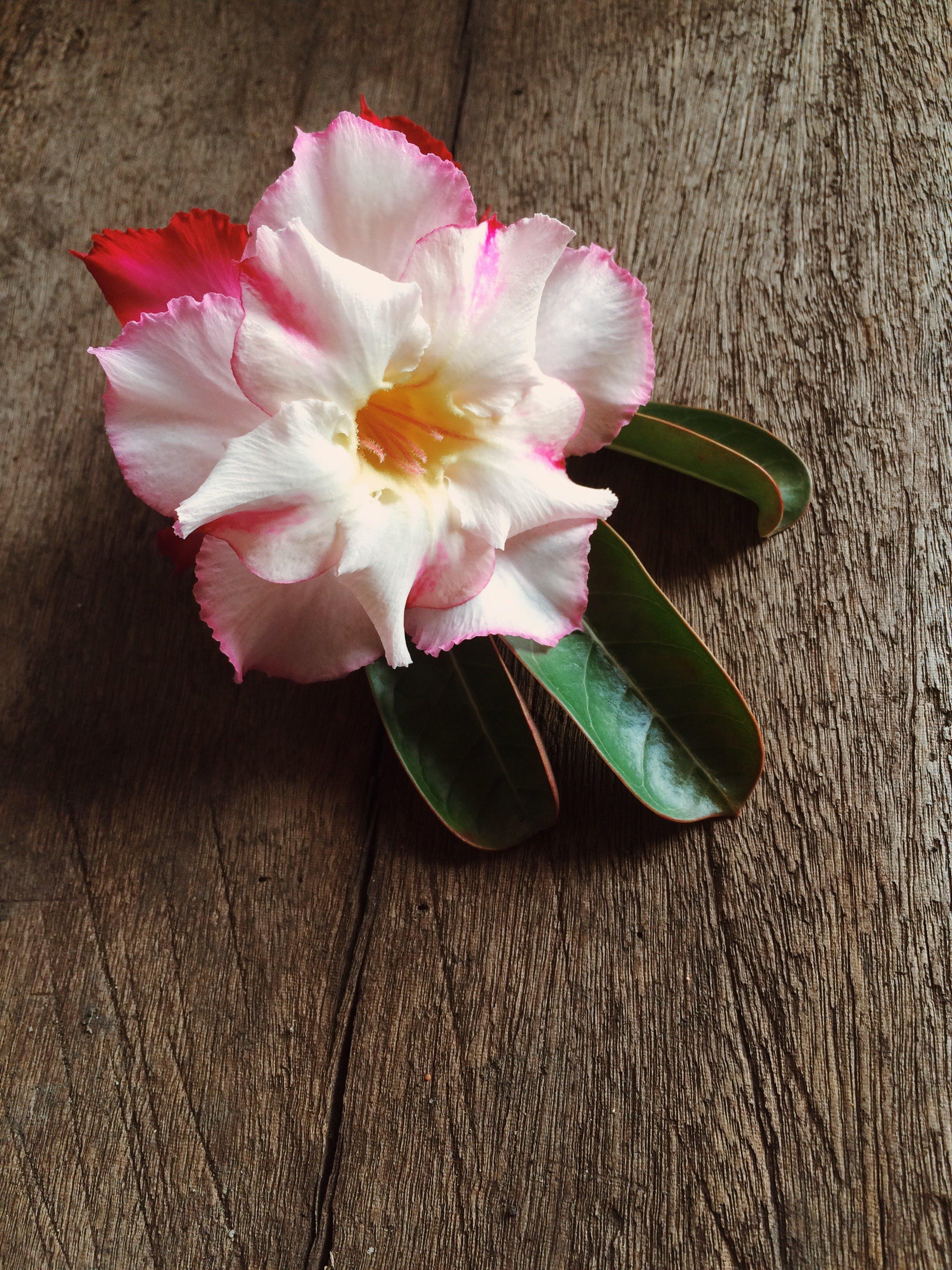 Free stock photo of Desert Rose, flower, flowers