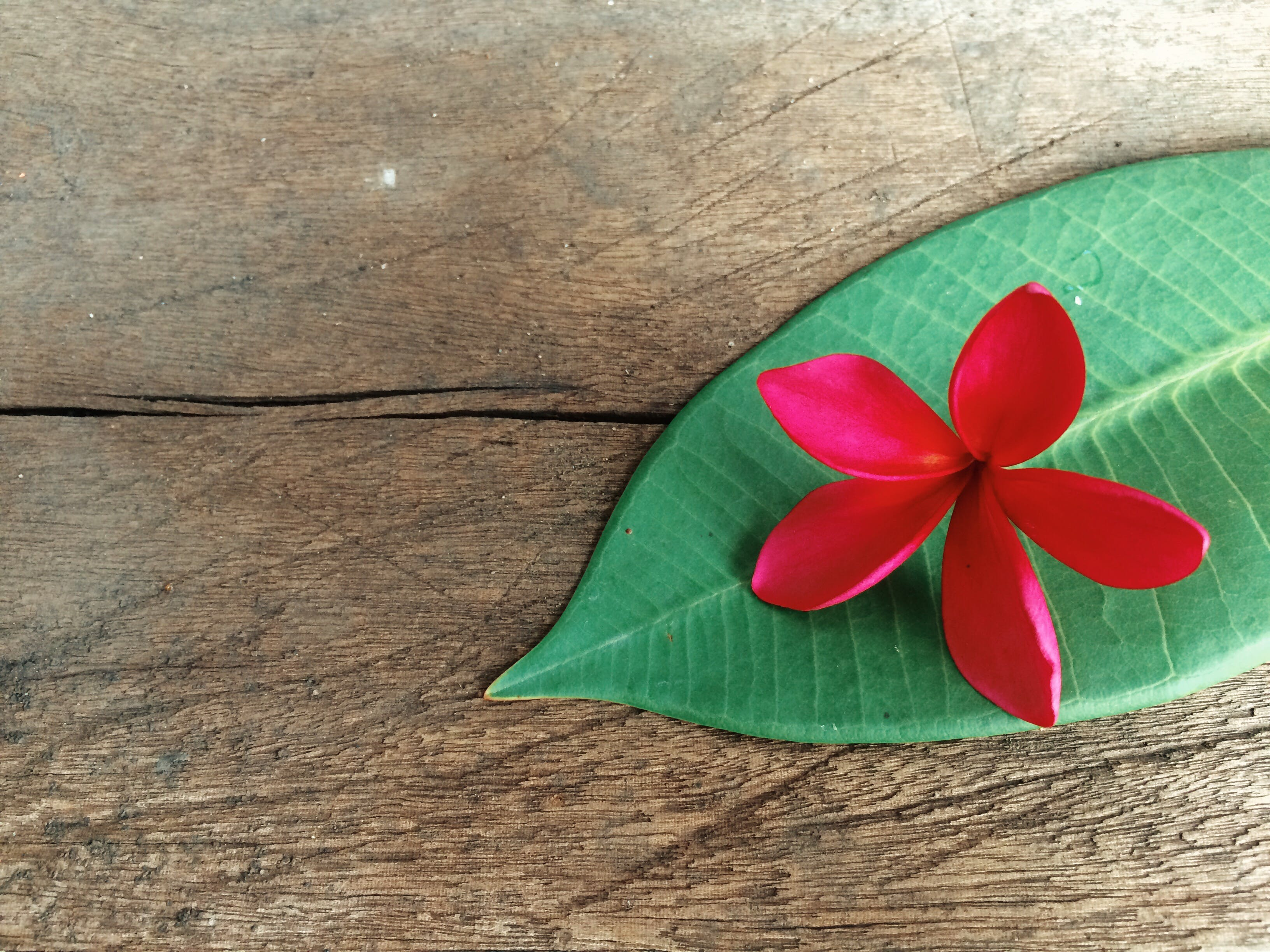 Free stock photo of flower, flowers, leaf, plumeria