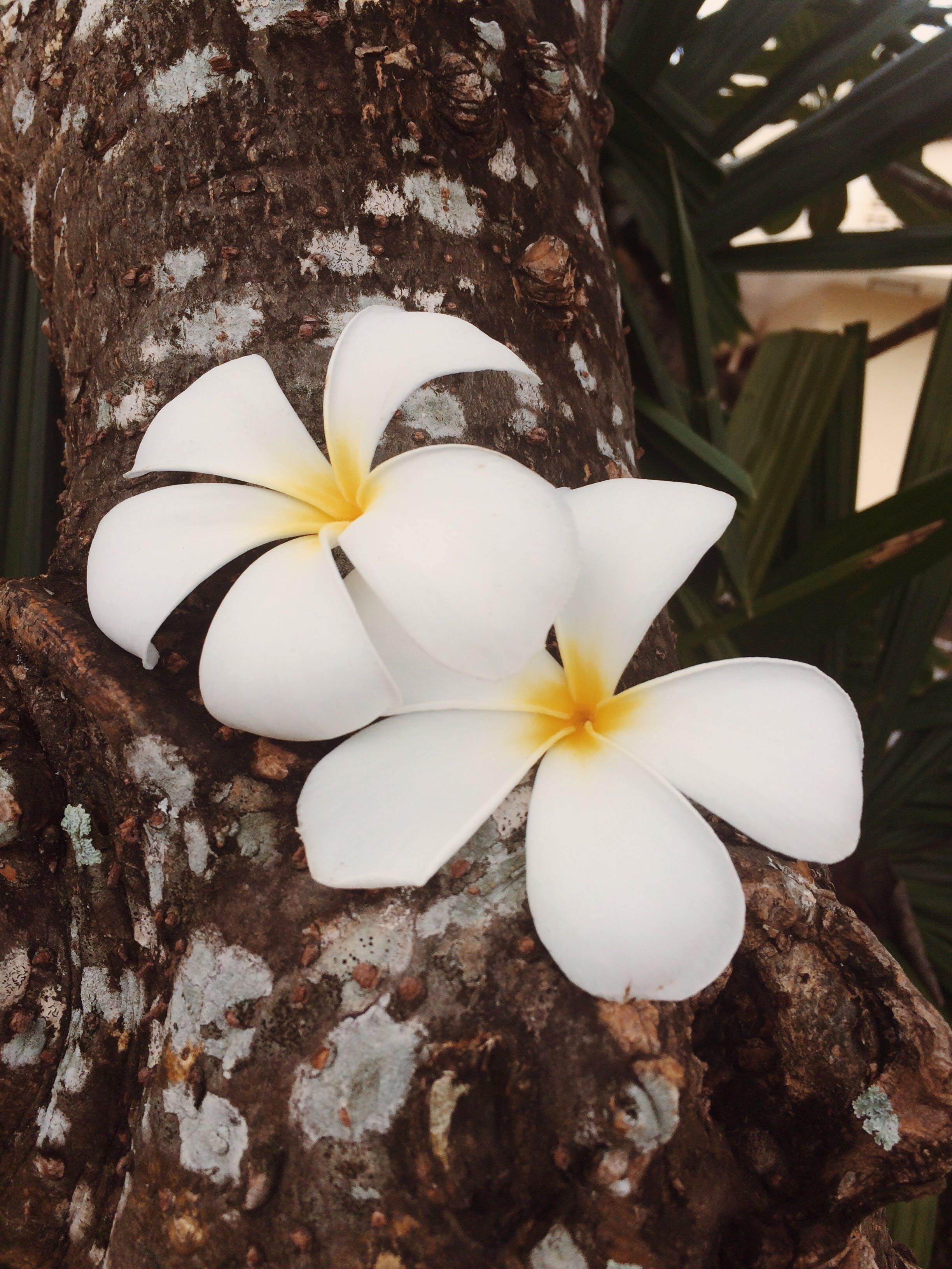 Free stock photo of flower, flowers, plumeria, tree