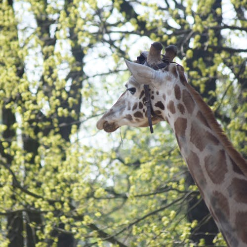 Free stock photo of animal, giraffe, mammal