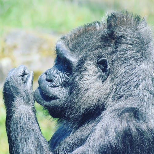 Free stock photo of animal, ape, gorilla