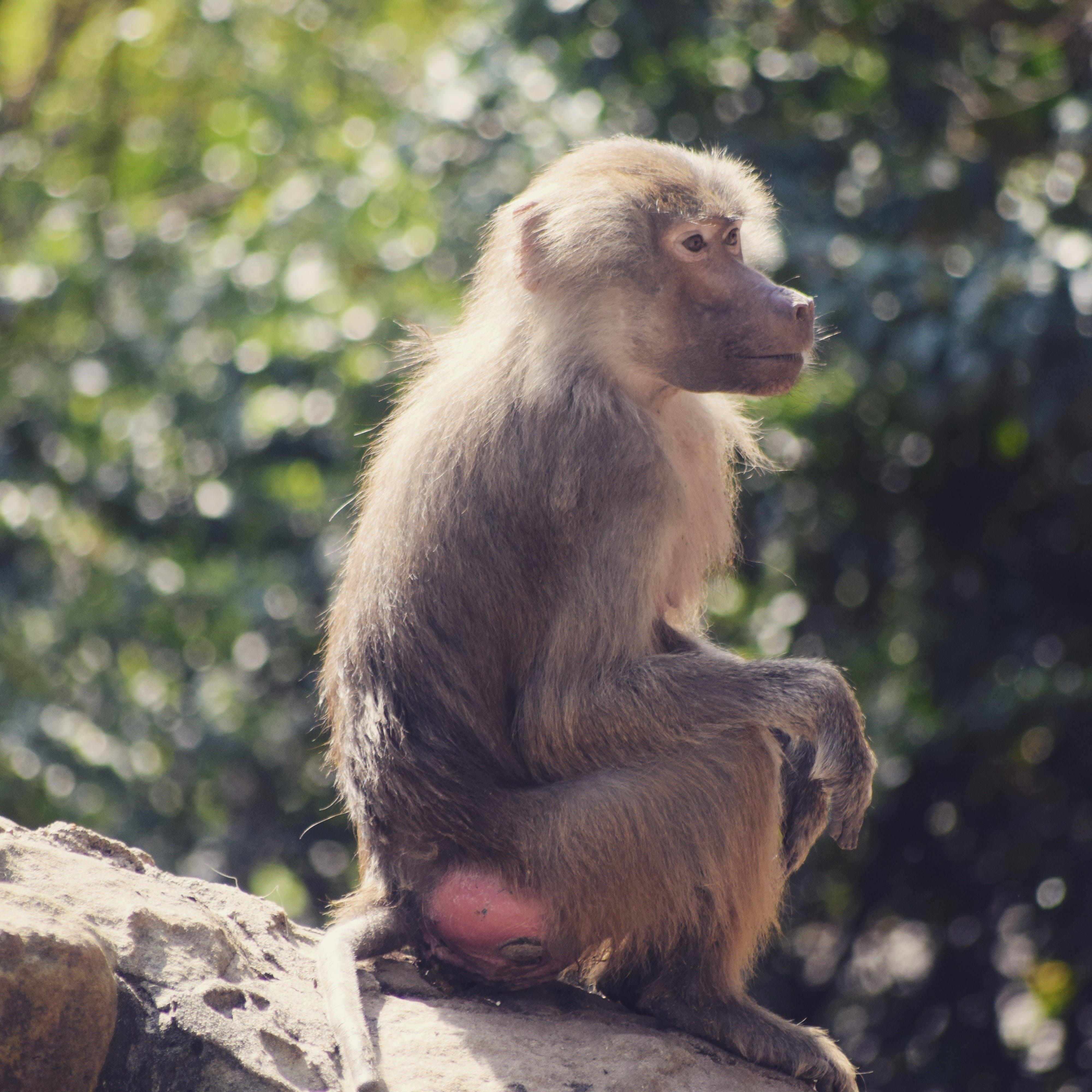 Brown Monkey on Rock Monolith