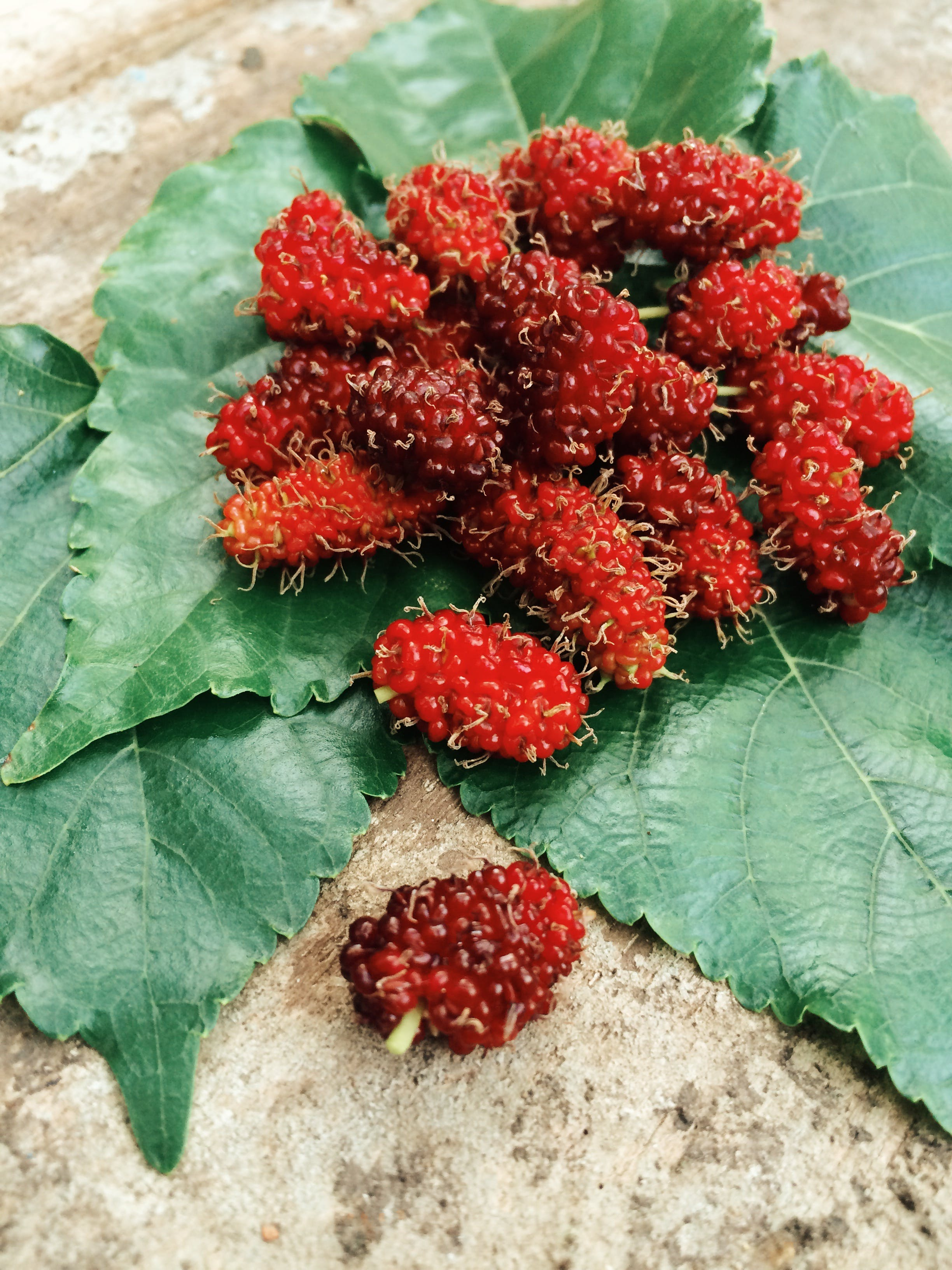 Free stock photo of fruit, leaf, mulberries, mulberry
