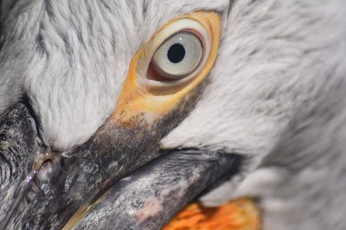 Free stock photo of eye, nature, pelican