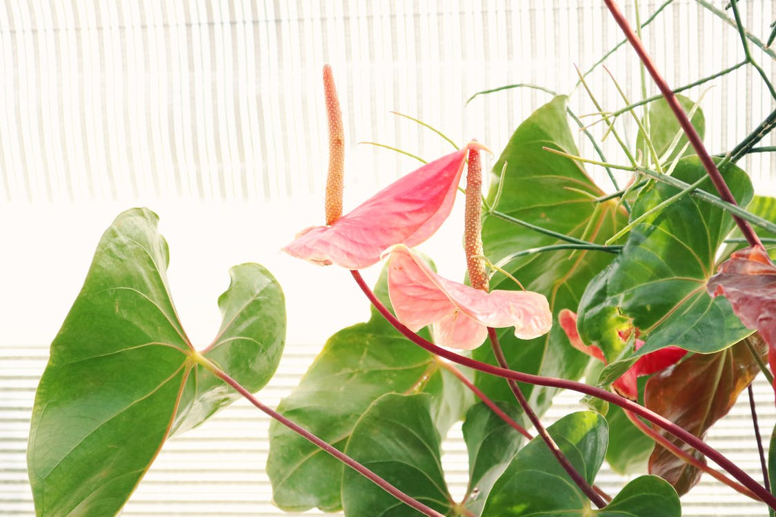 Pink laceleaf flowers in sunlight