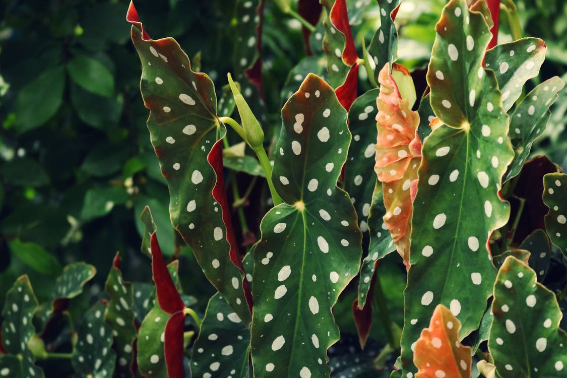 botanico, colore, crescita