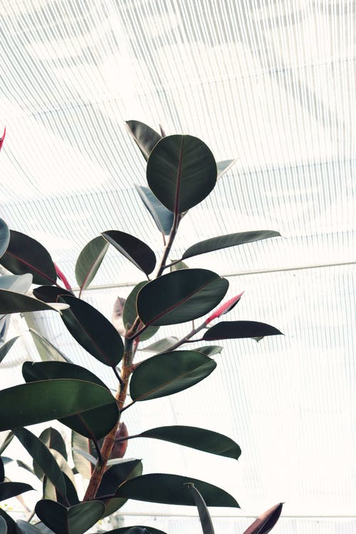 Ficus plant growing in modern hothouse