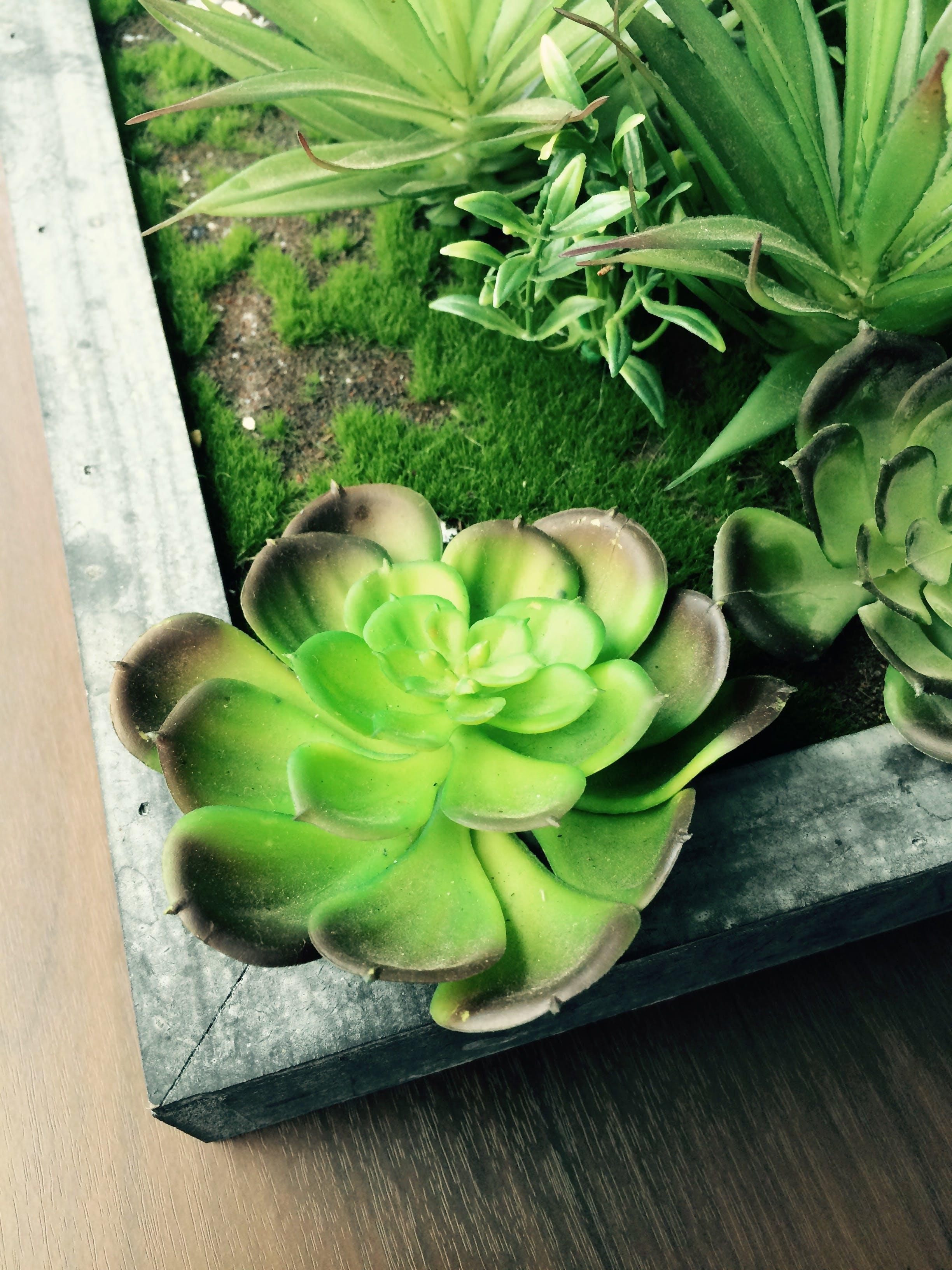 Free stock photo of plant, succulent, succulents