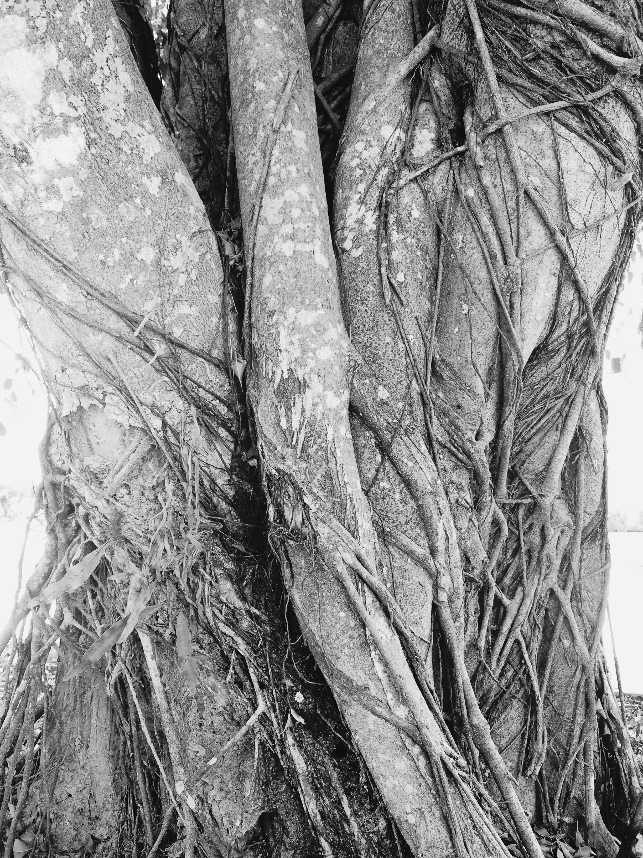 Free stock photo of tree, tree trunk, trunk