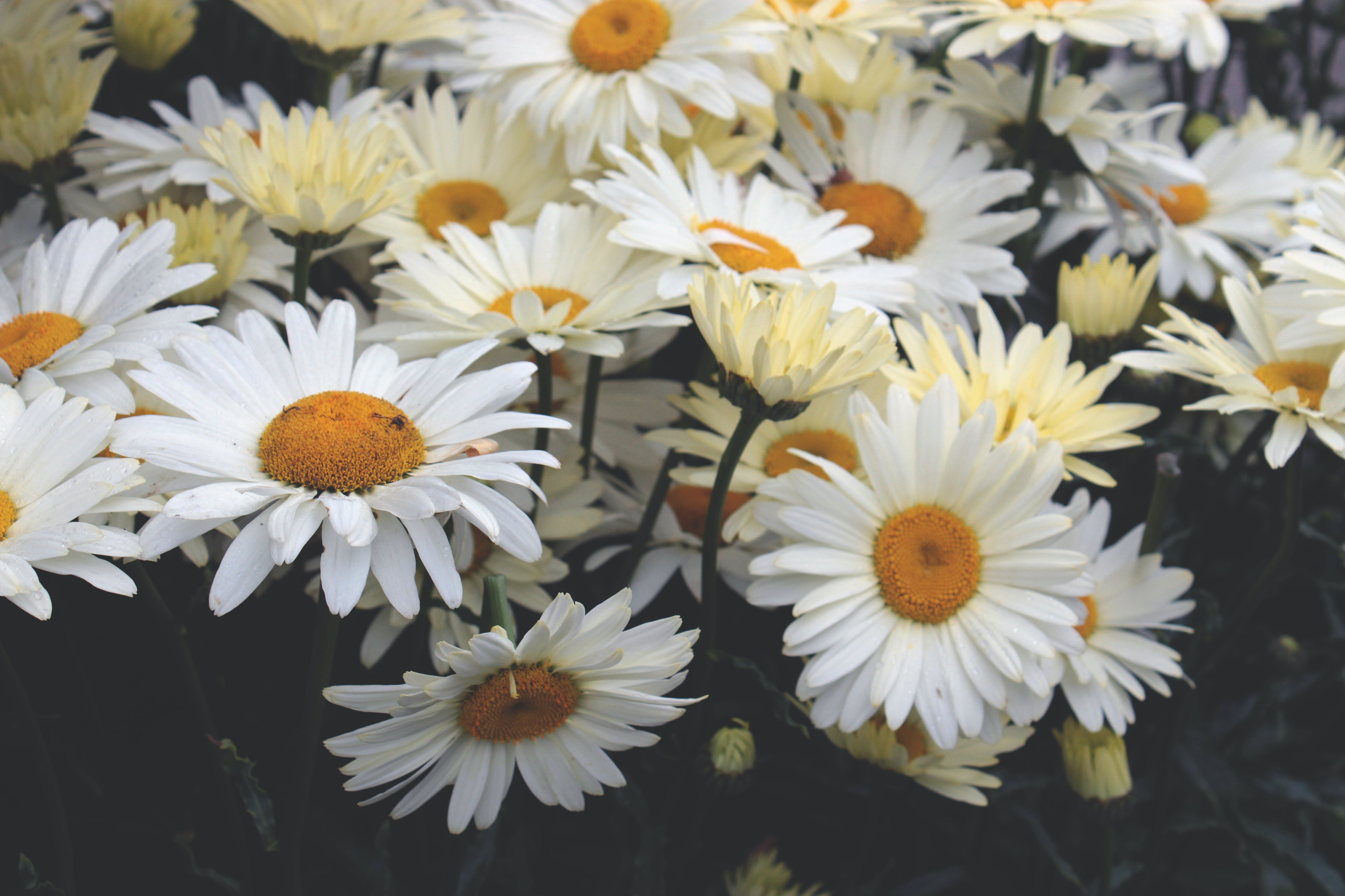 Yellow Daisies Closeup Photography at Daytime