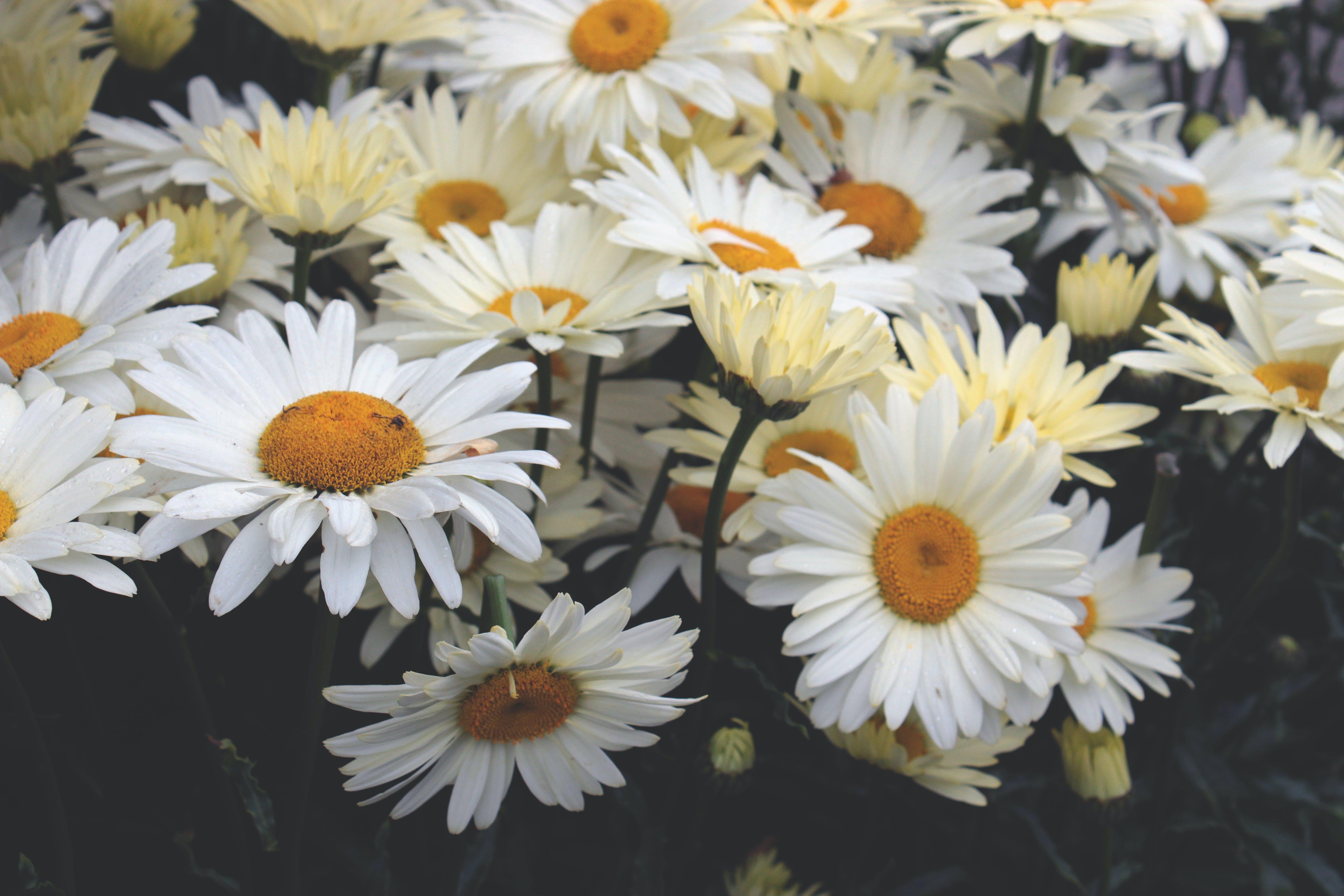 Yellow Daisies Closeup Photography at Daytime