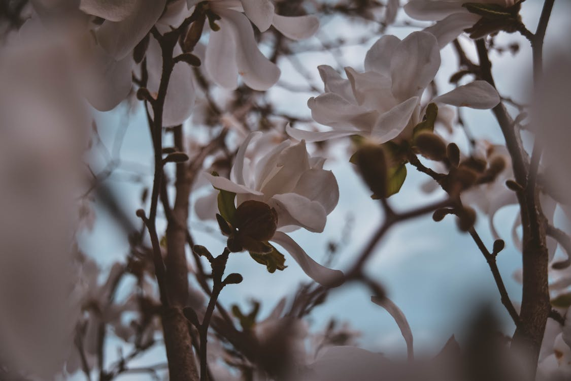 Closeup Photography of White Magnolia Flowers