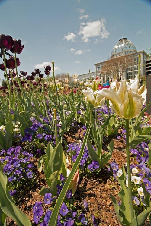 Gratis lagerfoto af forår, lewis ginter, rva, Tulipaner
