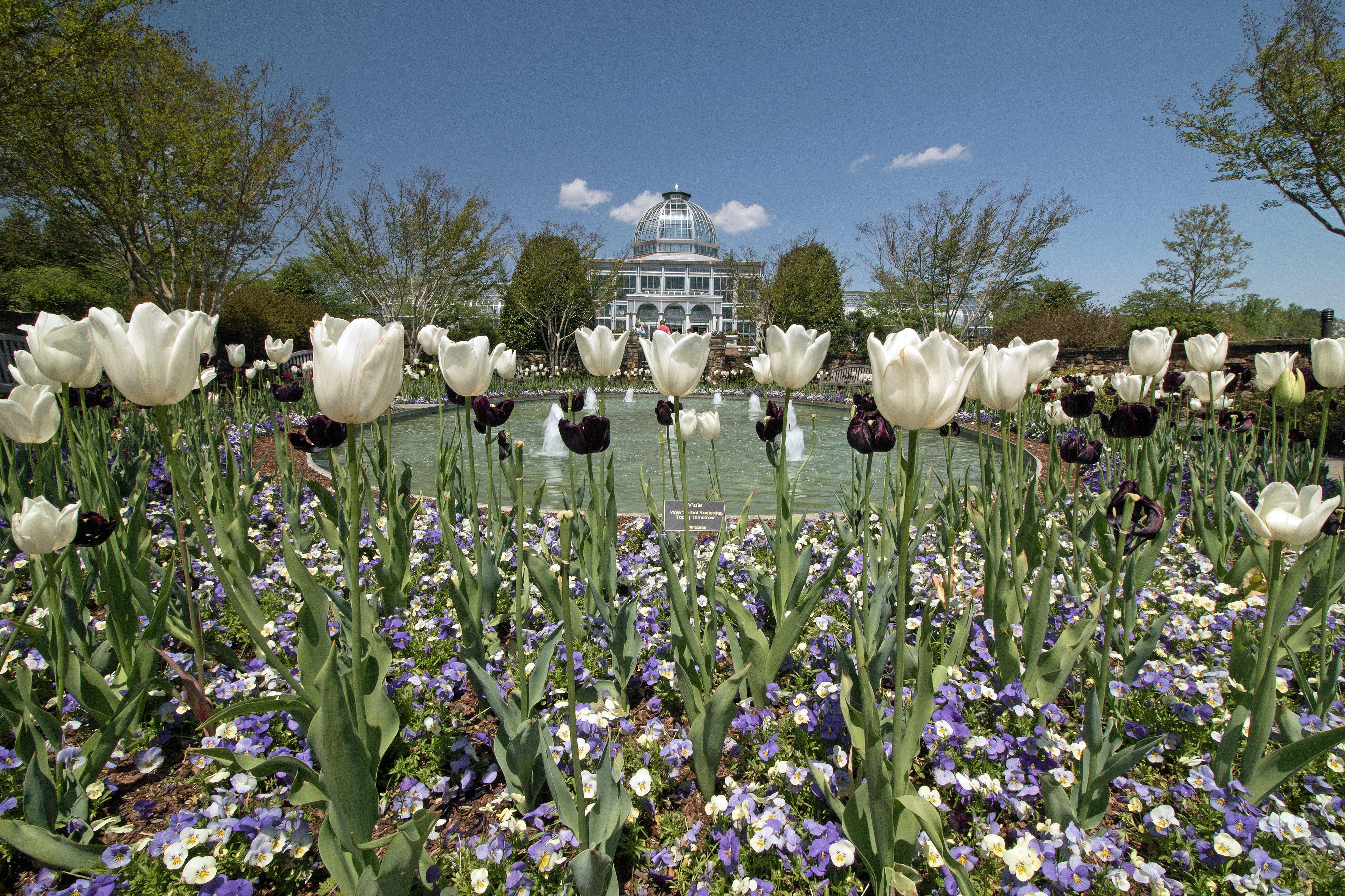 Free stock photo of fountain, tulips, springtime, rva