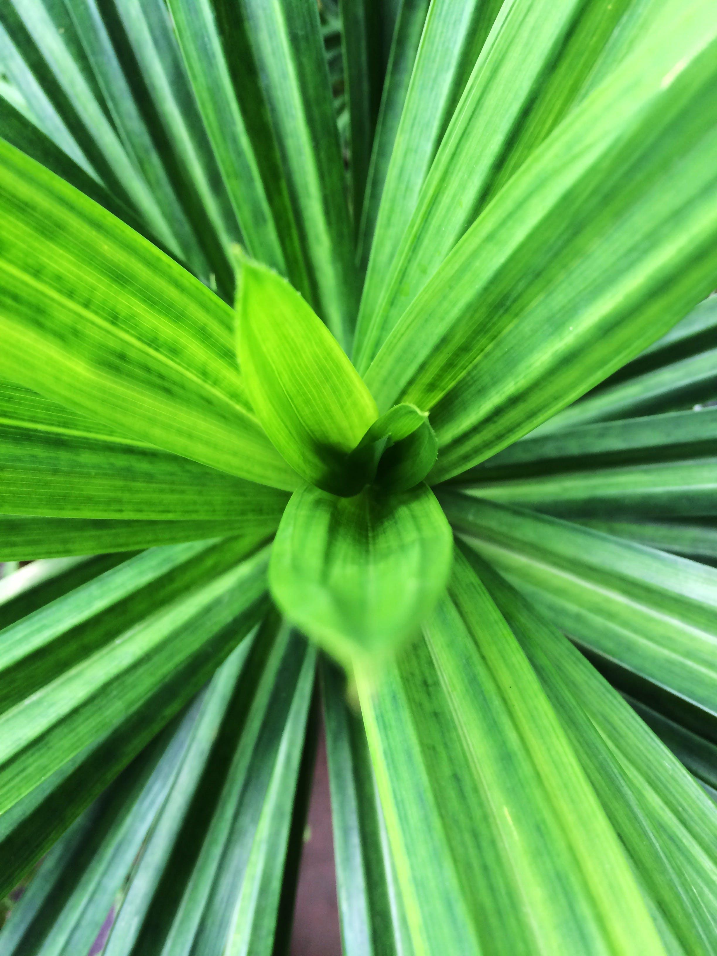 Free stock photo of green, leaf, leaves, Pandan