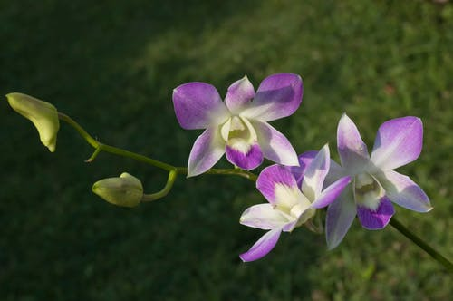 Fotobanka sbezplatnými fotkami na tému orchidea ružová