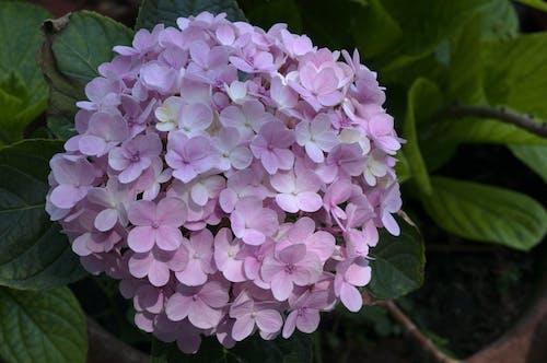 Fotobanka sbezplatnými fotkami na tému hortenzie kvet