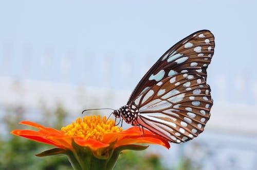 Fotobanka sbezplatnými fotkami na tému modrý tiger motýľ