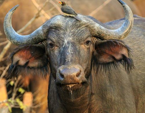 Kostenloses Stock Foto zu büffel, fokus, gehockt, gucken