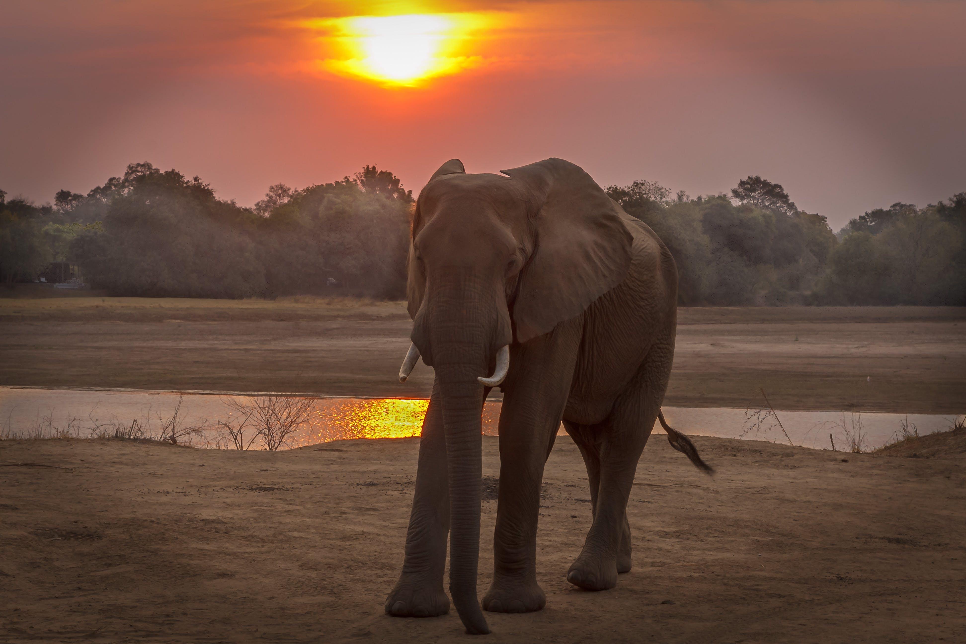 Free stock photo of Elaphant, golden sunset