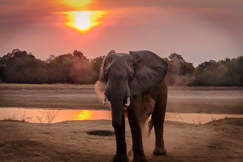 Fotos de stock gratuitas de elefante, puesta de sol