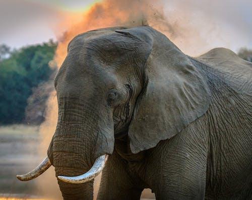 Бесплатное стоковое фото с африканский слон, большой, дикая природа, дикий
