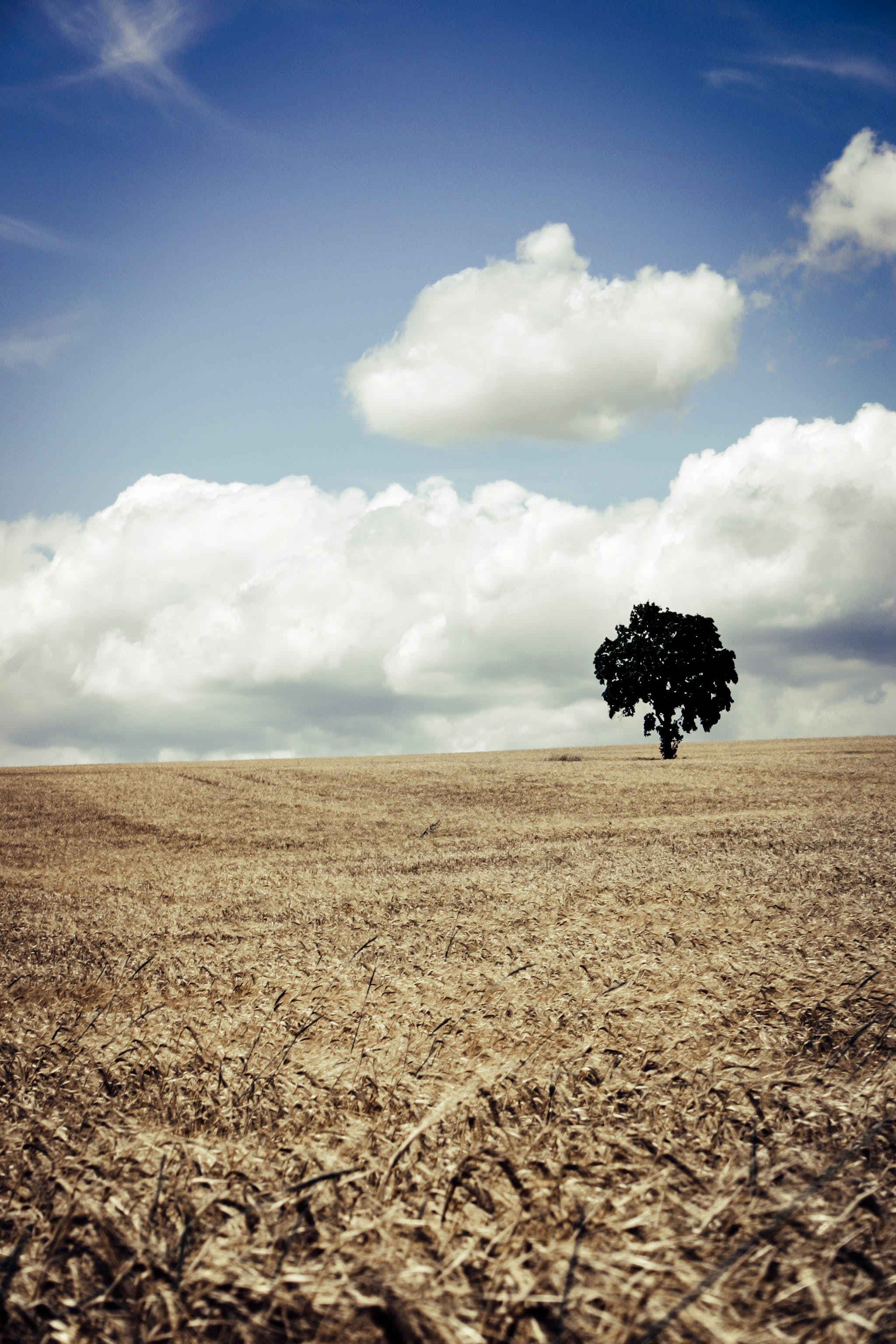 Tree in Brown Wheat Field