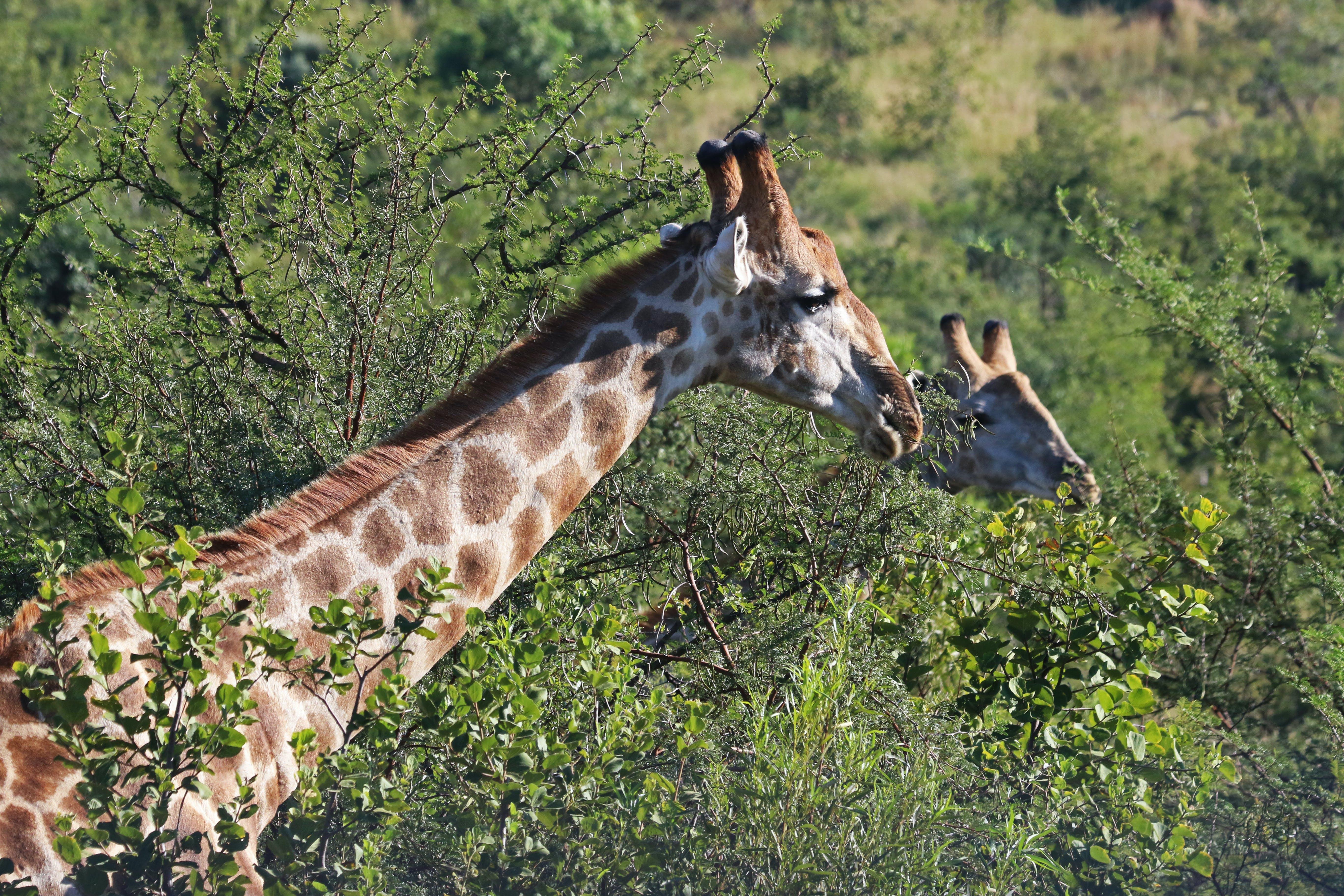 Close-Up Photography of Giraffe Near Trees