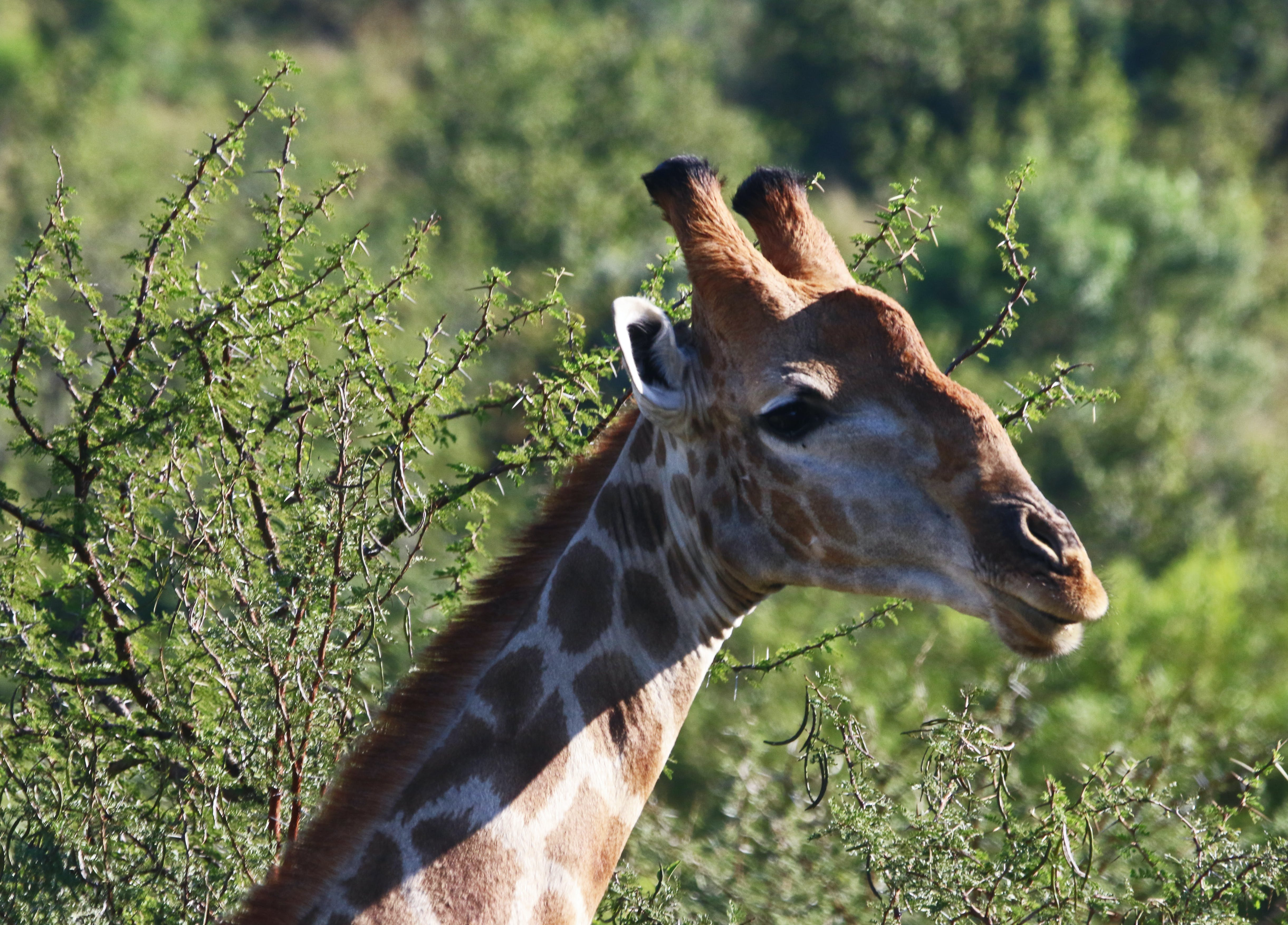 Close-Up Photography of Giraffe Head