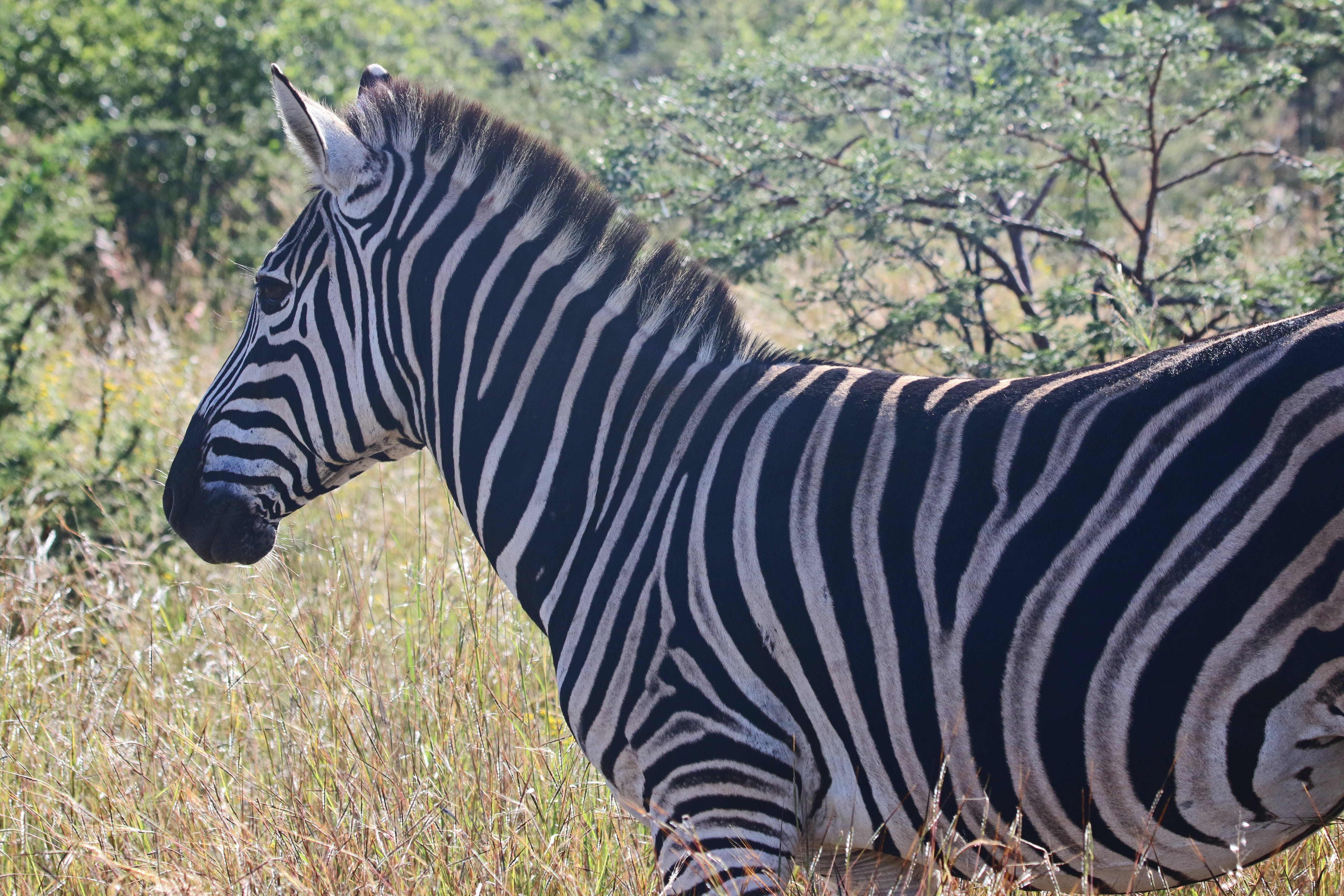 Close-Up Photography of Zebra