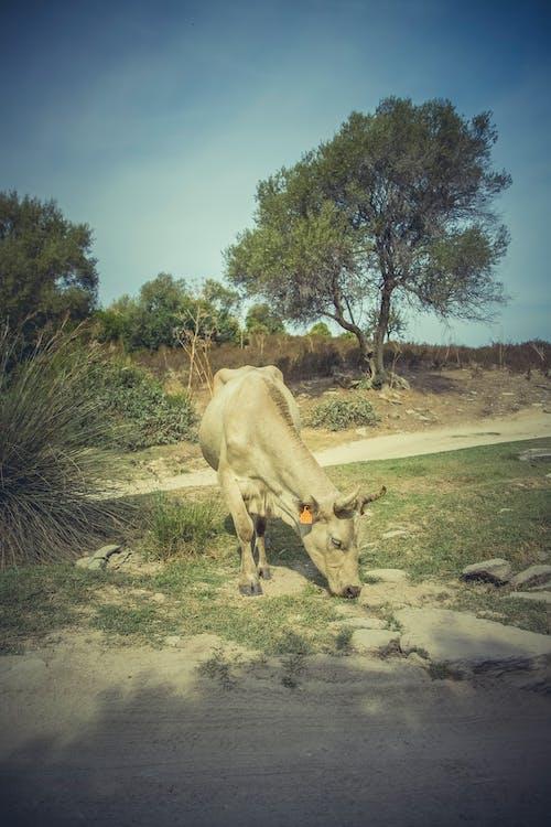 Gratis lagerfoto af dyr, dyrefotografering, græs, ko