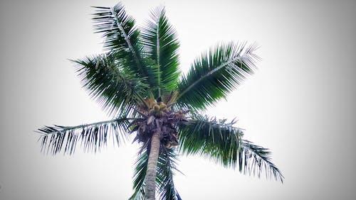 Free stock photo of coconut, tropical land, Vansh jacker photography