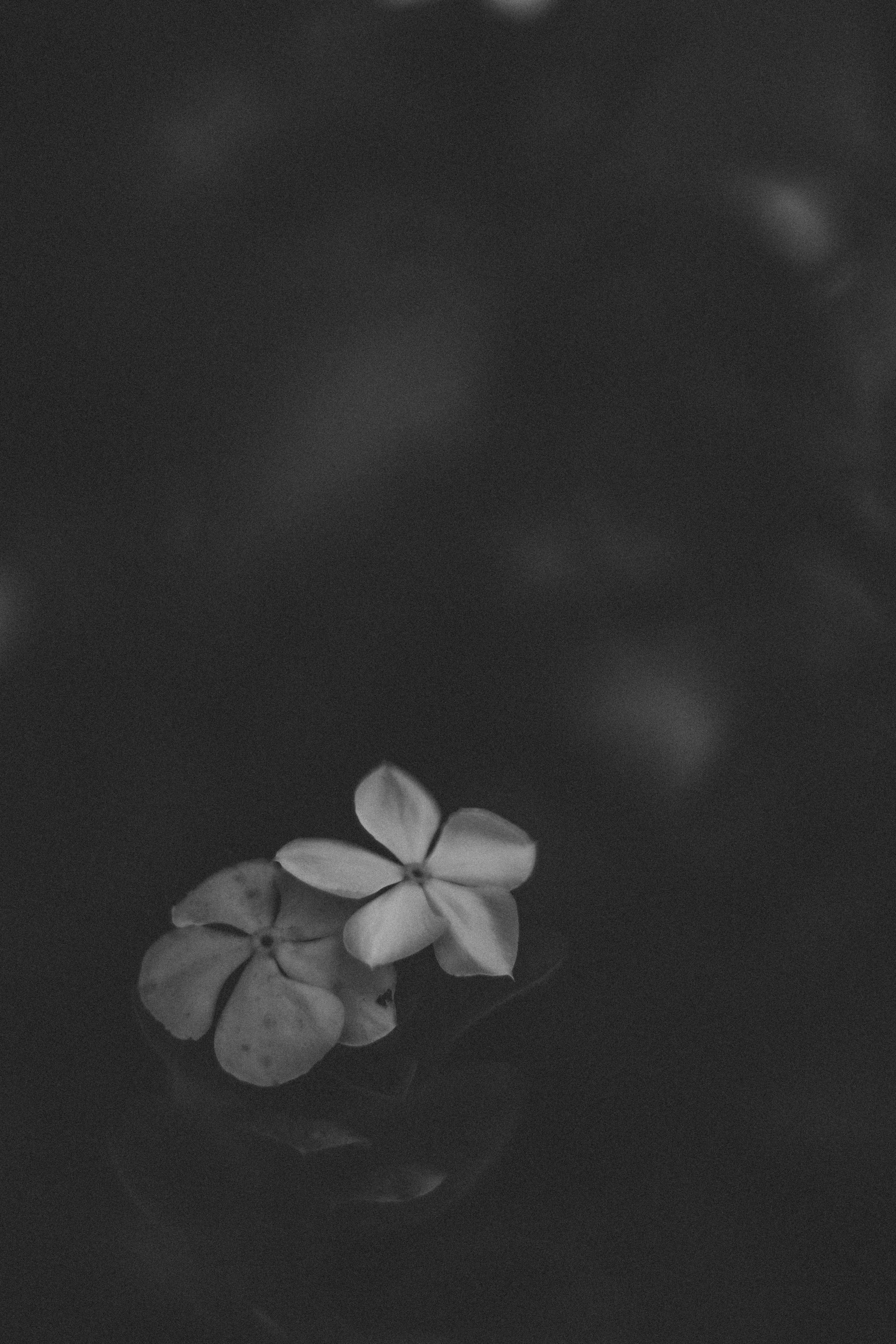 Free stock photo of beautiful flowers, black and white