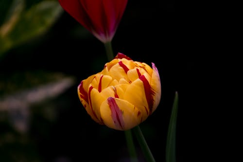 Close Up Photo of Yellow Tulips Flower