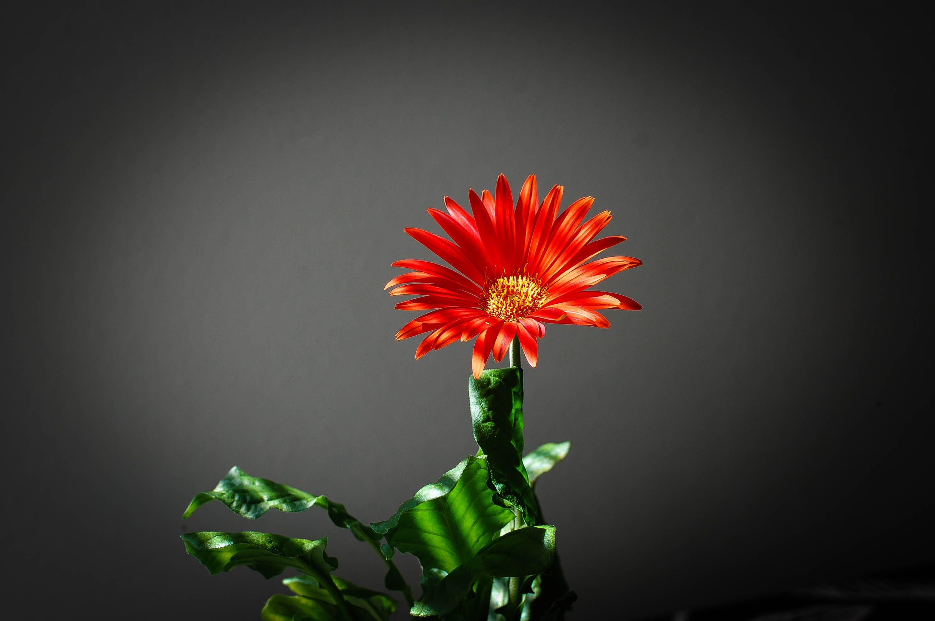 Closeup Photo of Red Petaled Flower in Black Background