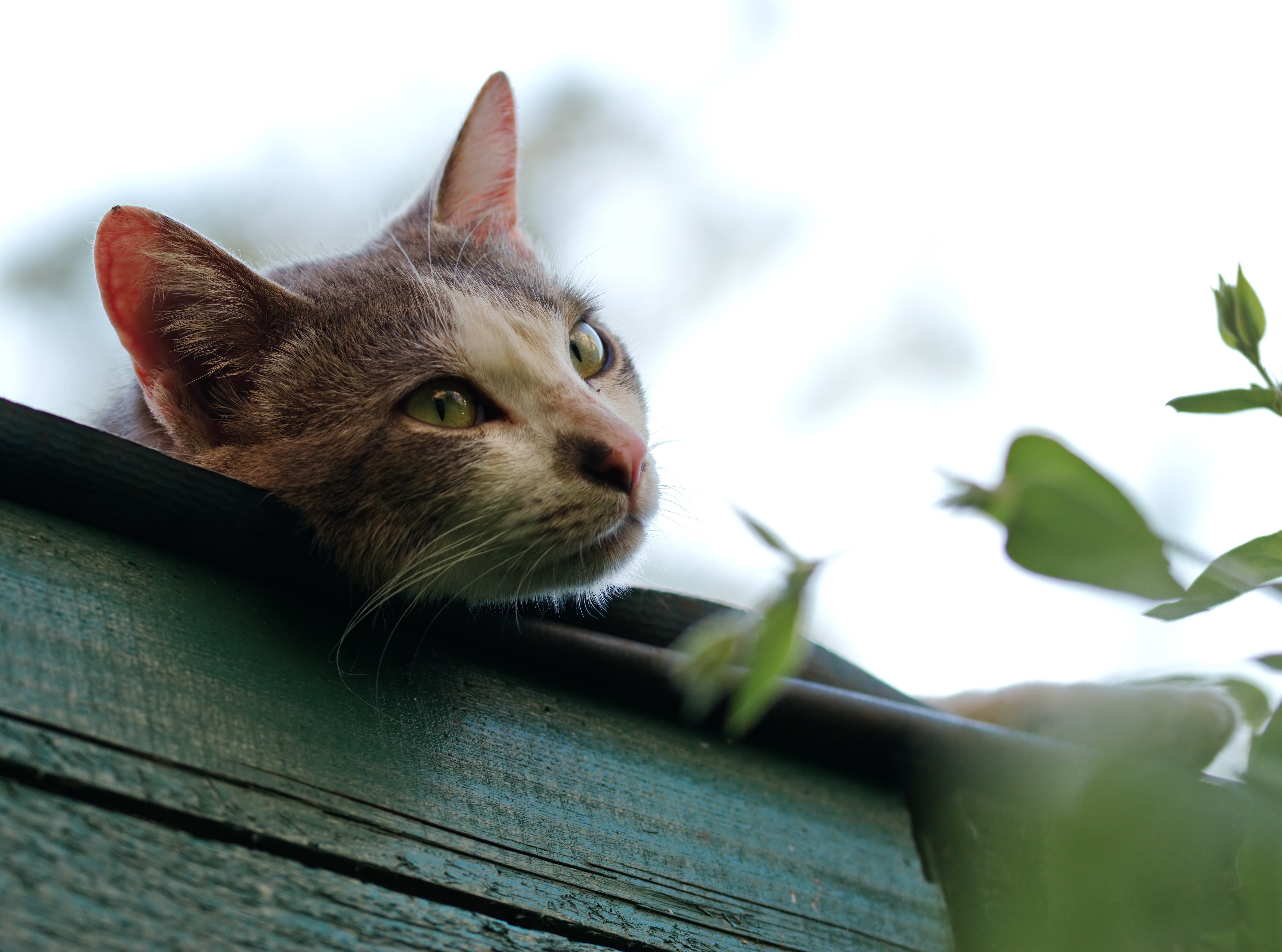 Shallow Focus Photography of Short-coated Gray and White Cat