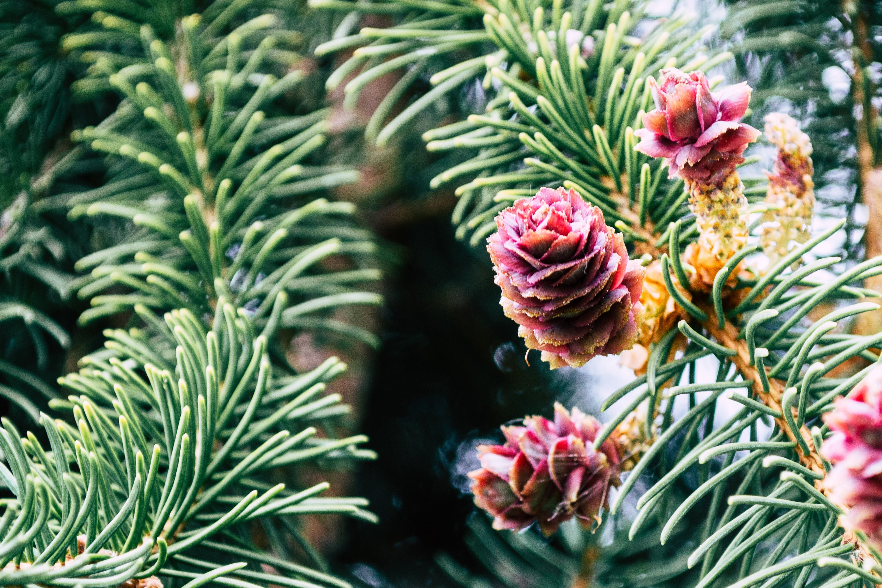 Red Pinecones