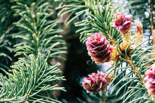 Gratis lagerfoto af blomst, farverig, gren, nåletræ