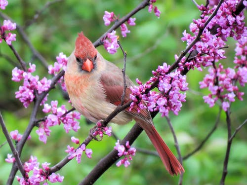 Selective Focus Photography of Pyrrhuloxia Perched on Pink Cherry Blossom Branch