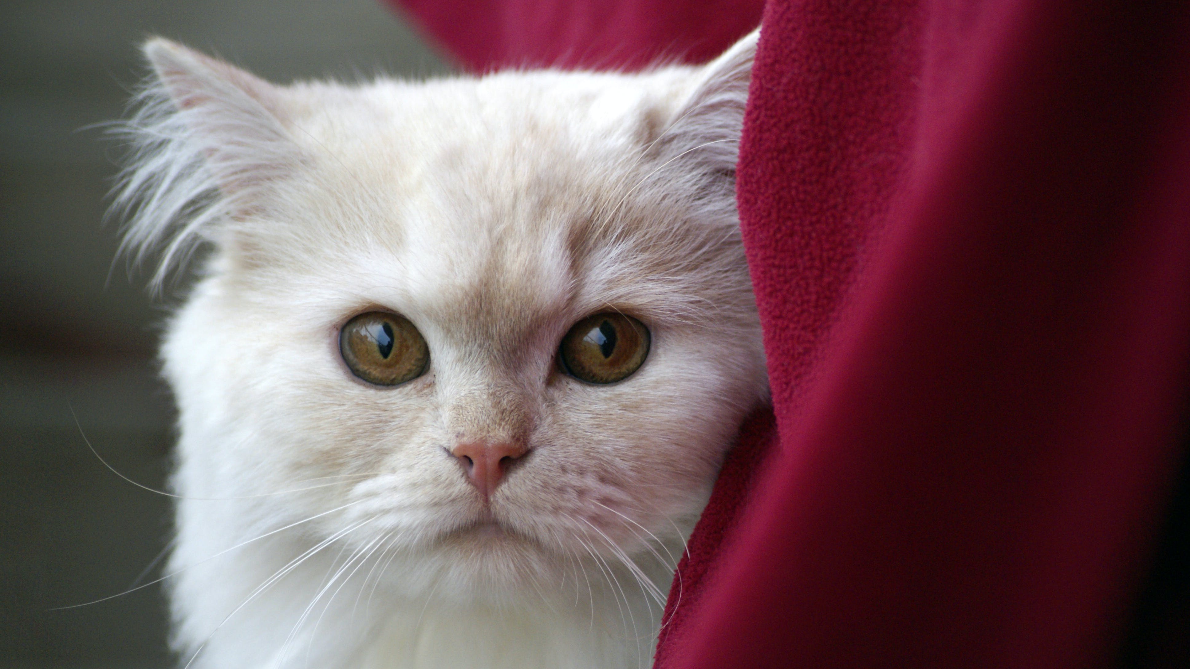 White Fur Cat Near Red Textile
