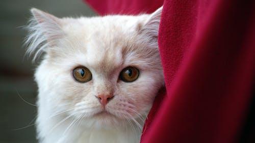 Gratis lagerfoto af close-up, dyr, hvid, kat