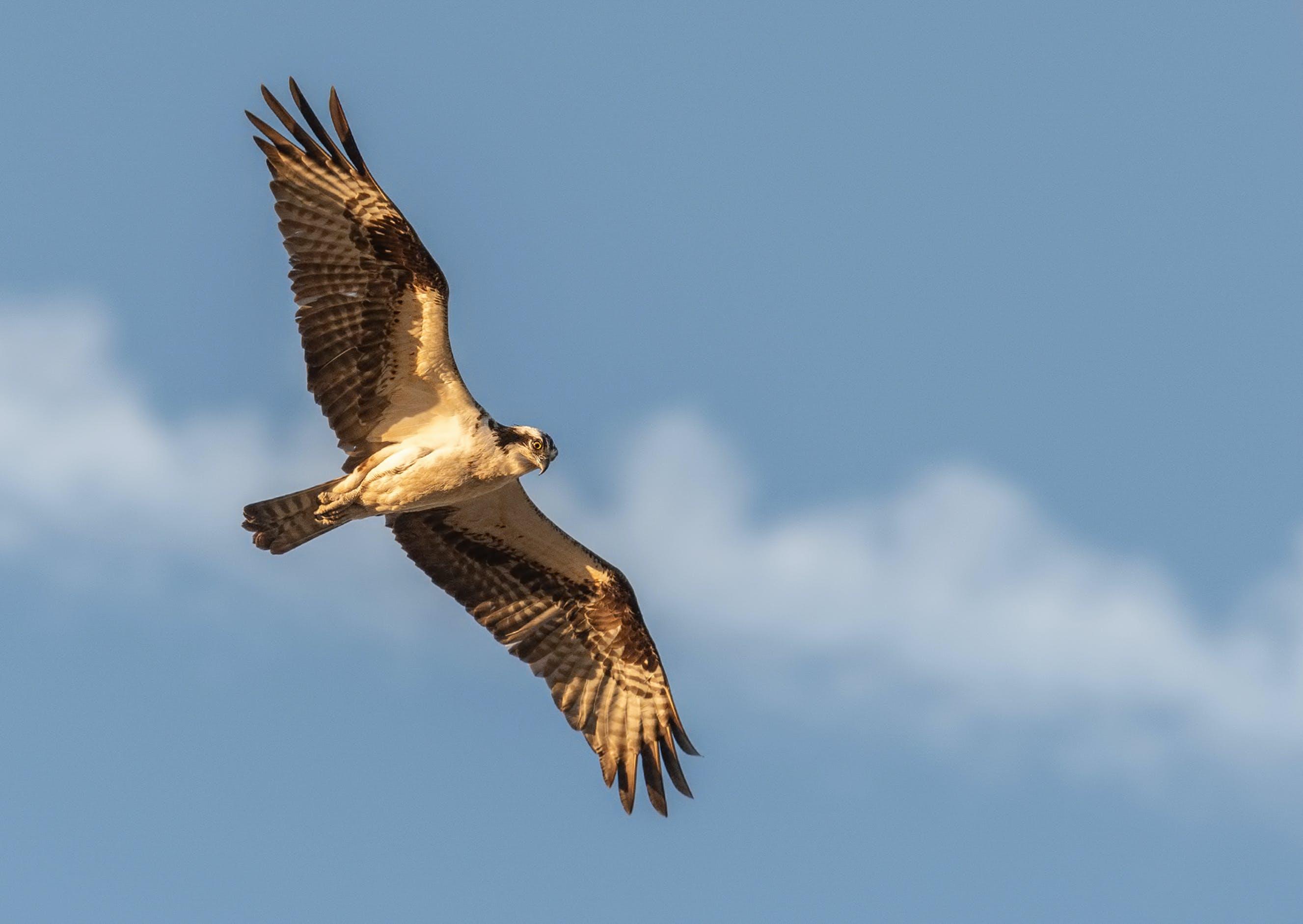 білоголовий орлан, величний, дика природа