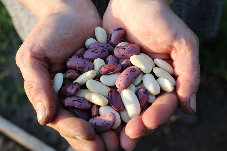 Free stock photo of runner beans
