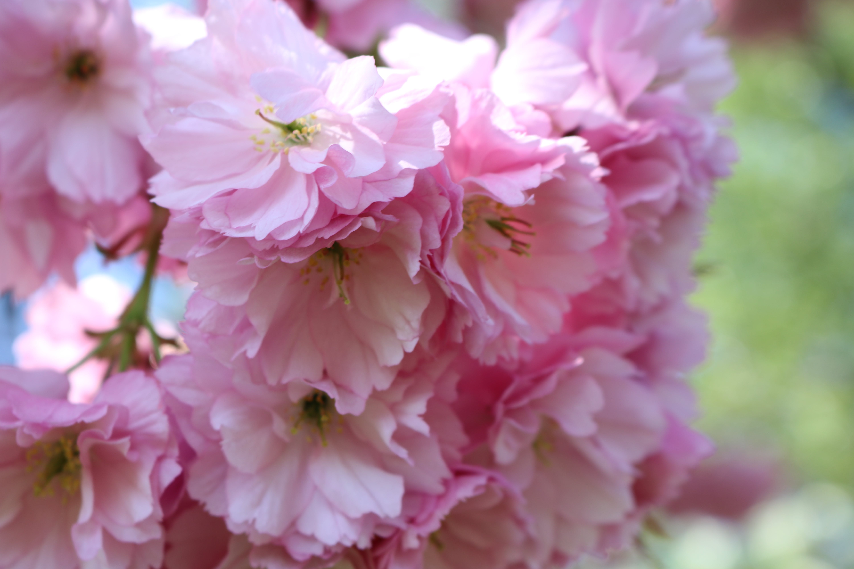 Gratis arkivbilde med kirsebærblomst