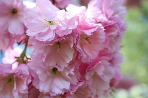 Darmowe zdjęcie z galerii z kwiat wiśni