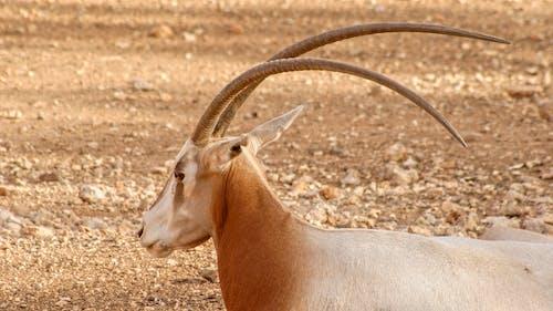 Foto stok gratis binatang, cokelat, ghazal, kebun binatang